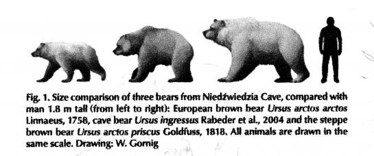Ursus-arctos-priscus-Marciszak.jpg